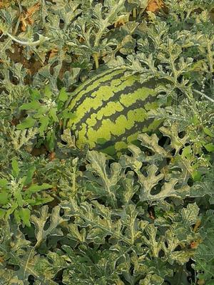 这是一张关于甜王西瓜 8斤打底 7成熟 1茬 有籽 的产品图片