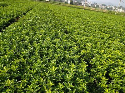 广西壮族自治区桂林市荔浦县砂糖橘苗 嫁接苗 0.2~0.35米