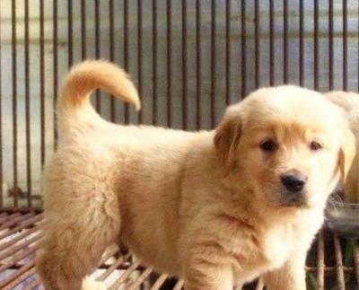 这是一张关于金毛犬 的产品图片