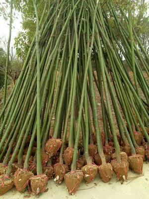 这是一张关于大叶樟 的产品图片