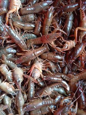 这是一张关于小龙虾苗 的产品图片