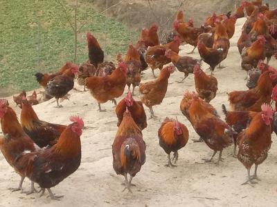 这是一张关于青脚土鸡 4-5斤 公 的产品图片