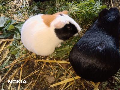 这是一张关于生态黑豚鼠 的产品图片