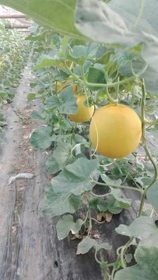 这是一张关于瑞红香瓜 1.5斤以上 的产品图片