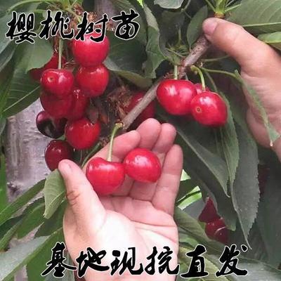 这是一张关于玛瑙红樱桃树苗 的产品图片