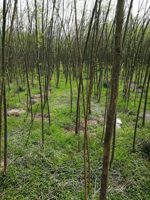 湖北省十堰市茅箭区速生柳  大量柳树出售,量大从优