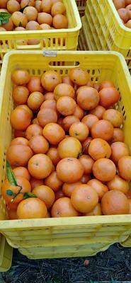 广西壮族自治区南宁市上林县沃柑  7.5 - 8cm 4两以上 广西武鸣沃柑,个大超甜,欢迎选