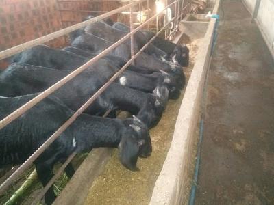 这是一张关于简阳大耳羊 50-80斤 的产品图片