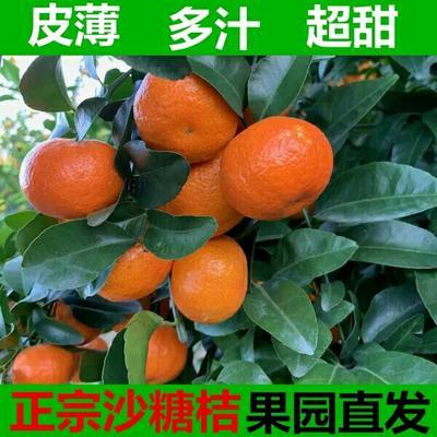 这是一张关于砂糖橘苗 造型树 0.2米以下 的产品图片