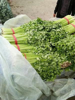 河南省商丘市夏邑县西芹 60cm以上 0.5斤以下 大棚种植