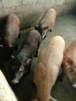 这是一张关于野猪苗 的产品图片