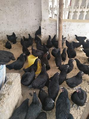 这是一张关于五黑鸡苗 的产品图片