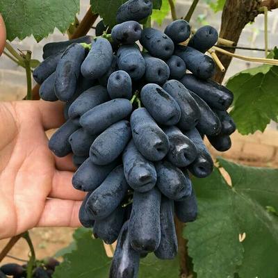 这是一张关于蓝宝石蓝莓苗 的产品图片