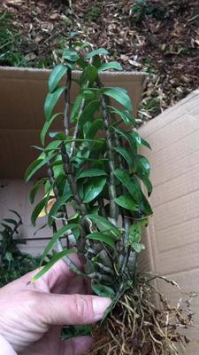 这是一张关于铁皮石斛种苗 的产品图片