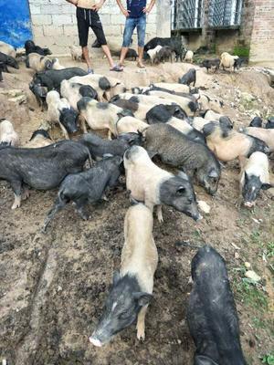 广西壮族自治区玉林市容县巴马香猪 40-60斤
