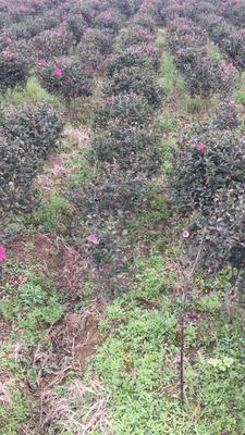 湖南省怀化市靖州苗族侗族自治县茶花树 140cm以上