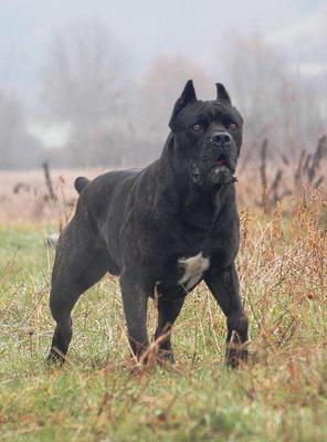 这是一张关于卡斯罗犬 的产品图片