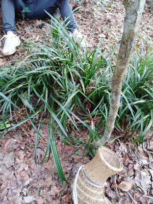 这是一张关于春兰 裸根不带土 的产品图片