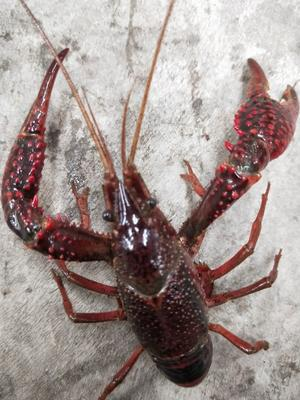这是一张关于中国小龙虾 4-6钱 人工殖养 的产品图片