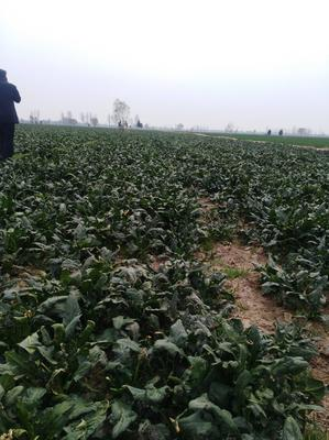 这是一张关于大叶菠菜 35~40cm 的产品图片