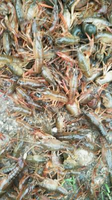 这是一张关于青红虾 4-6钱 人工殖养 的产品图片