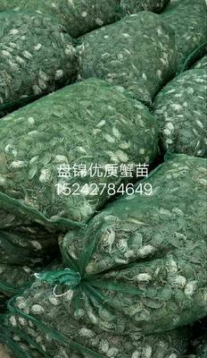 这是一张关于大闸蟹苗 的产品图片