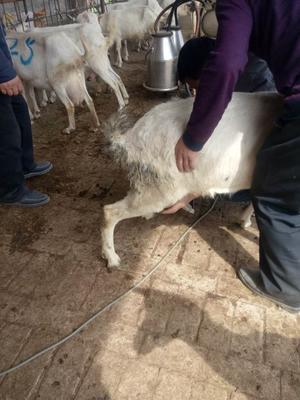 这是一张关于奶山羊  110-140斤  小羊羔 品种羊的产品图片