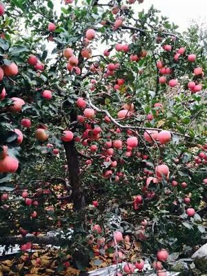 这是一张关于红富士苹果 75mm以上 片红 纸+膜袋 的产品图片