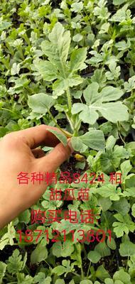 这是一张关于8424西瓜苗 的产品图片