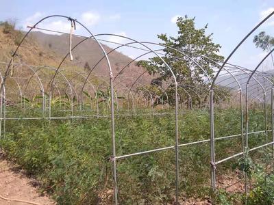 这是一张关于清香木苗  13518798318的产品图片