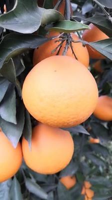这是一张关于青见柑桔 6 - 6.5cm 3两以上 的产品图片