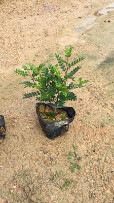 这是一张关于清香木 胡椒木的产品图片