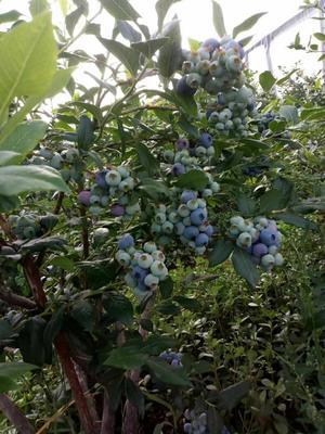 云南省昆明市西山区绿宝石蓝莓 12 - 14mm以上 鲜果