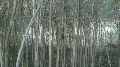 这是一张关于竹柳 的产品图片
