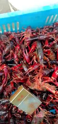 这是一张关于盱眙龙虾 国产 0.6-0.8斤/只 的产品图片
