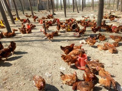 这是一张关于九斤红公鸡 6-7斤 公 的产品图片