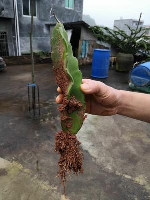 这是一张关于红皮红肉火龙果苗  5年苗的产品图片