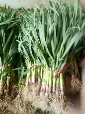 江苏省徐州市丰县红根蒜苗  50 - 60cm 大量上市了