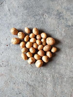 这是一张关于丽薯6号 1两以下 的产品图片