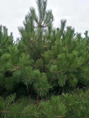 这是一张关于山地油松 的产品图片