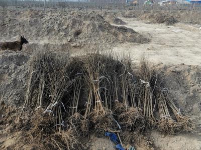 这是一张关于突尼斯软籽石榴树苗 的产品图片