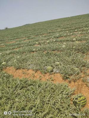云南省西双版纳傣族自治州景洪市甜王西瓜 4斤打底 8成熟 1茬 无籽