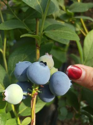 山东省青岛市黄岛区野生蓝莓 12 - 14mm以上 鲜果