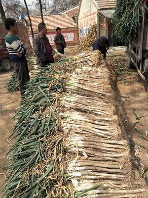 山东省菏泽市牡丹区长白大葱 50cm以上 毛葱