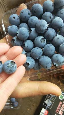 山东省青岛市黄岛区北陆蓝莓 12 - 14mm以上 鲜果