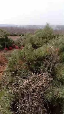 这是一张关于大田油松 的产品图片