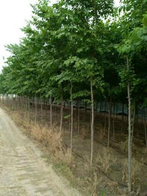 江苏省宿迁市沭阳县白榆种子  林木种子