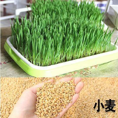 山东省菏泽市牡丹区小麦种子 芽苗菜种子专用