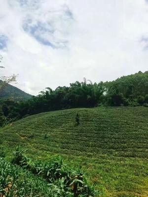 云南省普洱市景谷傣族彝族自治县无眼菠萝 1.5 - 2斤