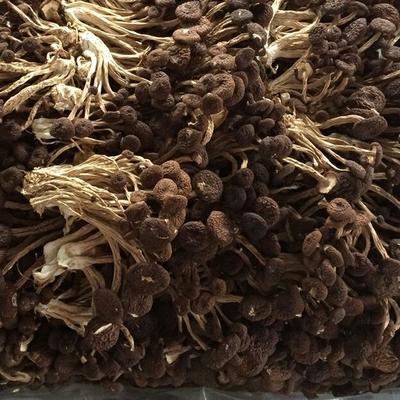 江西省抚州市南丰县广昌5号茶树菇 14~16cm 未开伞 干茶树菇